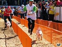 esporte estranho corrida de porcos